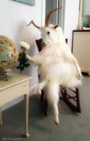 funny-goat-pictures.jpg